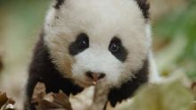 Let Disneynature's 'Born in China' Seduce You With Some Baby Panda (Exclusive Trailer)