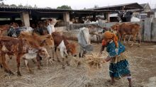 Arrested BJP leader blames own government after 200 cows starve to death in his gaushala