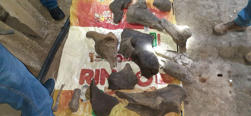 Fossil remains of a mastodon found by miners are seen inside a gold mine in Risaralda