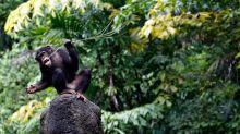 Schimpansen schlafen überraschend sauber