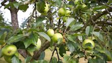 How to prune an apple tree in five simple steps