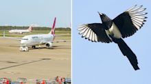 Warning that magpies could cause more airport collisions