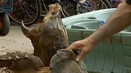 Enormous alligator snapping turtle rescued from drainage culvert