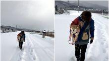 北海道大雪「幸福柴犬仔」 主人抱住散步唔怕凍