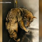 Officials won't euthanize coyote linked to attacking boy, 6, in Lincoln Park; will stay in rehab facility