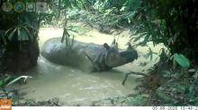 Rare Javan Rhino captured on hidden camera in gleeful mudbath