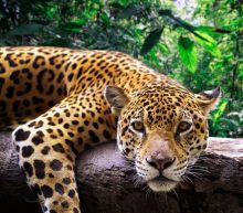Jaguar Escapes New Orleans Zoo and Kills 6 Animals