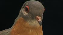Last Surviving Passenger Pigeon on Display