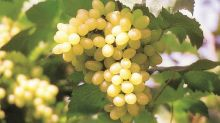 'Grapes in local markets contain unsafe levels of pesticides compared to exported ones'