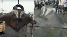 Two Giant Manta Rays Caught by Fisherman Off Malpe Port in Karnataka, Watch Video; Know What Manta Ray is