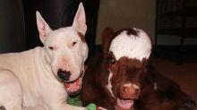 Vaca age como cachorros após de ser resgatada e conviver com eles