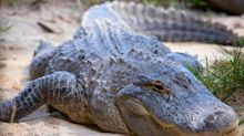 Florida man accused of giving beer to an alligator