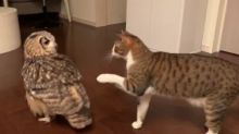 Owl snatches away wrapper from cat playing with it