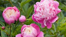 Peonies: more, better and bigger flowers for colour in early summer