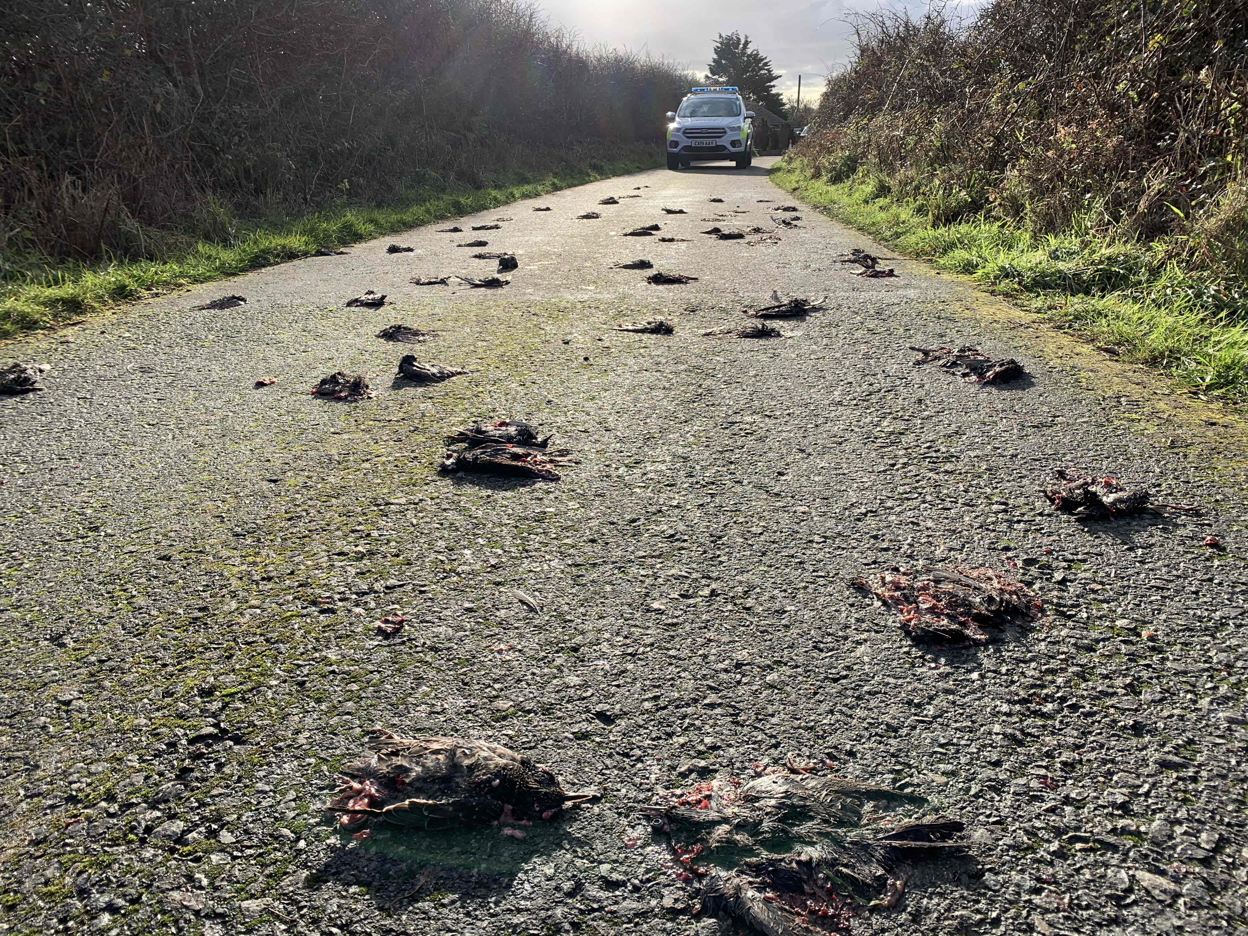 Hundreds of dead birds found in Wales 'hit the earth fleeing a Bird of Prey'