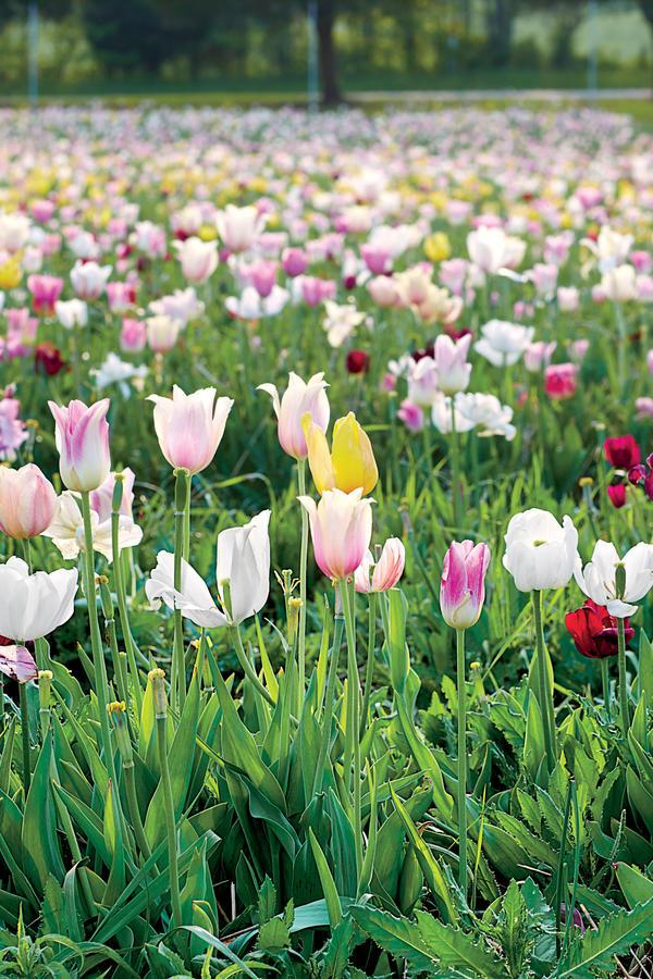 Places To Pick The South 39 S Most Beautiful Tulips This Spring