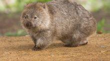 Descubren por qué las heces de este adorable animalito tienen forma cúbica