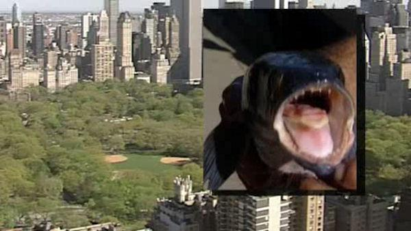 Fishermen warned of snakehead fish in Central Park