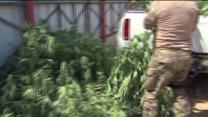 WAT Team Seizes 300 Pot Plants