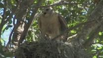 Dive-Bombing Hawks Defend Nest