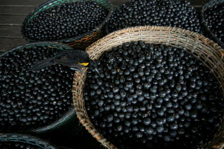 Canada researchers investigating acai berry to fight Covid
