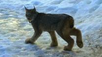 The Lynx Effect: Woman Has Rare Encounter With Predator