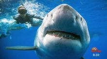 Shark photographers get up close and personal with largest great white ever captured on camera