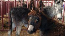 De Aranjuez a Virginia: los dos burros que España regaló a George Washington