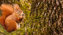 5 ways we can help endangered red squirrels