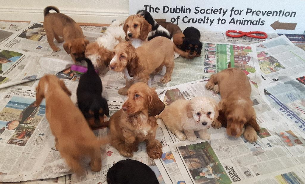 Some of the 59 puppies that were rescued at the port of Dublin during an operation involving the DSPCA, Gardai and Customs officials (AFP Photo/)