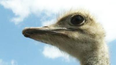 At One Ballpark, Ostriches Strut in Outfield