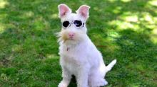 Albino dog wears sunglasses because direct sunlight could kill it