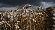 Trigo avança em Chicago com clima seco para safra dos EUA, soja acompanha alta