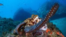 Bloggerin vs. Oktopus: Dieser Überlebenskampf geht viral