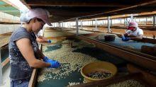 Los ingresos por exportación de café hondureño bajan 27,7 % en lo que va de cosecha