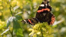 Quiz: Wie heißen diese Schmetterlinge?