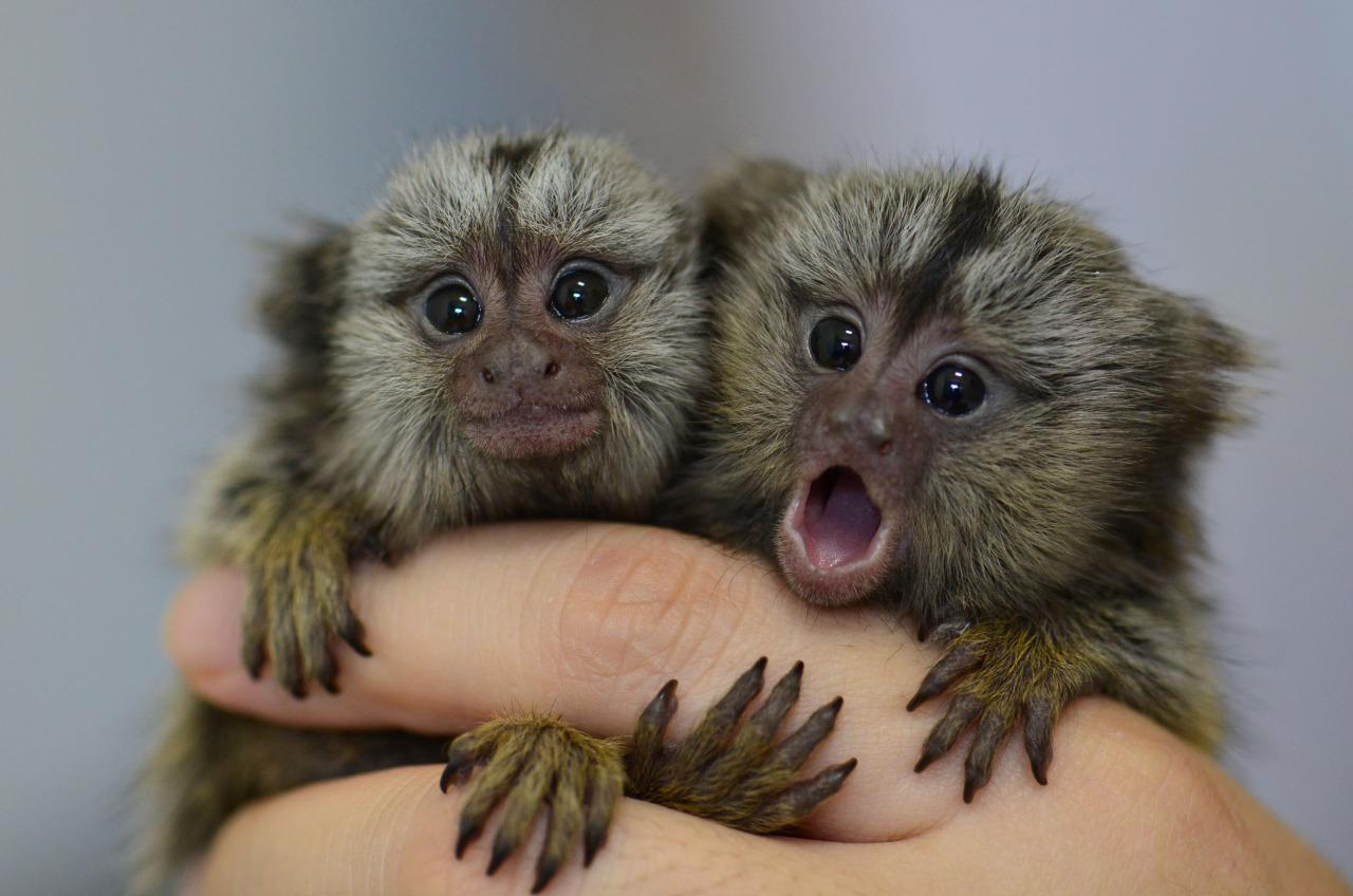 <p>In this photograph released by the police in Goyang, northwest of Seoul, on May 17, 2016, two endangered common marmosets seized from a South Korean smuggler cling to someone's finger. Common marmosets, which are native to east-central Brazil, are very small monkeys with relatively long tails. Police say a common marmoset can be sold as a pet for as much as $6,390 in South Korea. (Goyang police/EPA)</p>