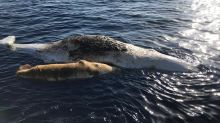 Mother sperm whale and baby dead in fishing net off Italy