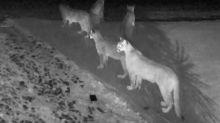 Cámara de seguridad capta a cinco pumas juntos en California