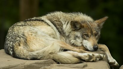 Why Wall Street wants to help save the wolves