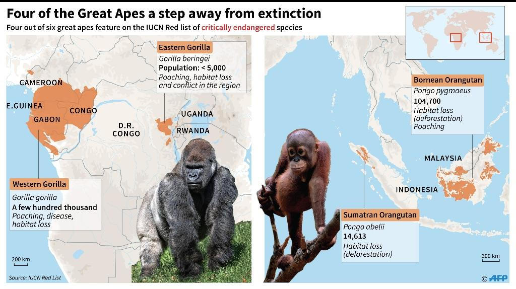 Four of the Great Apes a step away from extinction (AFP Photo/Paz Pizarro)