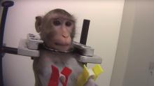 Filtran imágenes de maltratos salvajes a monos y perros en un laboratorio alemán