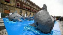 México rescata una vaquita marina