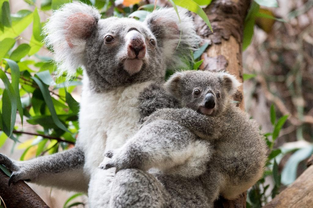 Koalas are effectively extinct in parts of Australia (AFP Photo/Marius Becker)