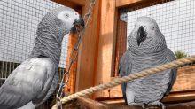 En Angleterre, un zoo met à l'écartdes perroquets trop grossiers