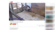 Month-old giraffe at Maryland Zoo dies