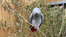 Parrots separated at Lincolnshire zoo after learning to swear