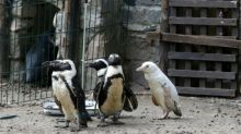 Rare albino penguin makes debut at Polish zoo