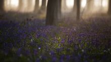 Pandemic puts tulips, bluebells, cherry blossoms in hiding