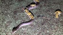 The real reason why these cane toads latched onto this snake